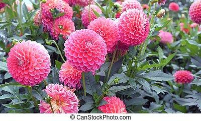Flowers pink dahlias in the garden.