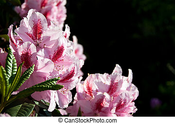 Flowers pink Rhododendron