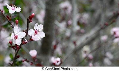 Flowers plum tree
