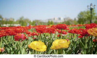 Flowers red and yellow tulips flowering in tulips field,...