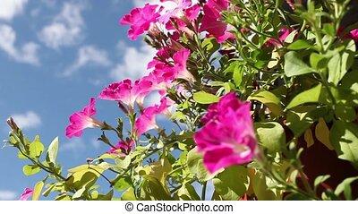 Flowers red petunias close to