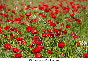Flowers red poppies blossom on wild spring field. Beautiful field of fresh red poppies reach out towards the sun in sunny day with brightly green grass.