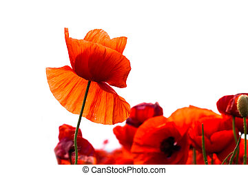 Flowers - red poppies in the field on white background