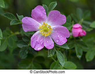 flowers., rose, fleur sauvage, garden., parfumé