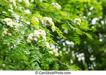 Flowers rowan in spring time. White flowers of the tree...