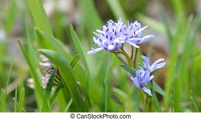 flowers Scilla bif - beautiful spring flowers Scilla bifolia...