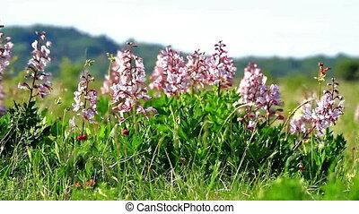 Flowers - Beautiful flowers in the wind (Dictamnus albus)
