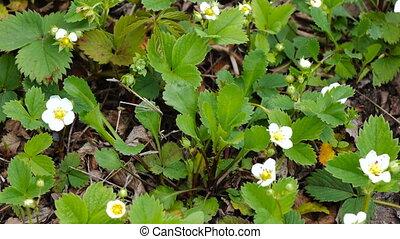 Flowers strawberries spring - Bushes blooming in spring...