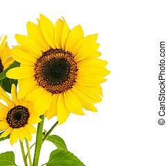 Flowers sunflower with green leaf