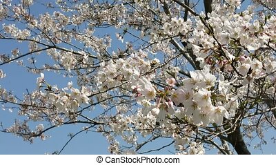 Flowers swaying the wind - Full blooming cherry blossoms...