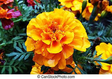 Flowers Tagetes Patula Marigold in garden in a summer season
