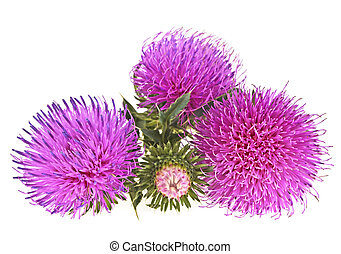 Flowers thistle isolated on a white background