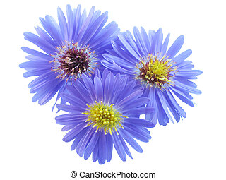 Three purple flowers on white background.