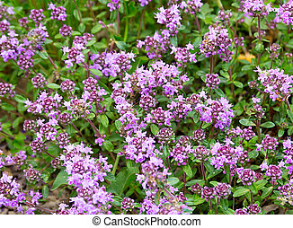 Flowers thyme background