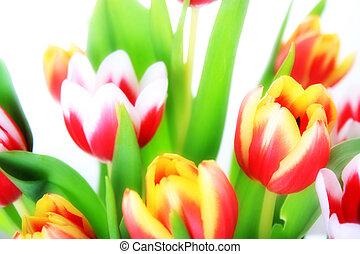Flowers, tulip