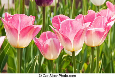 tulips - flowers, tulips