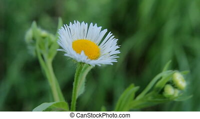Flowers White Daisies - Chamomile flowers close up. Nature...