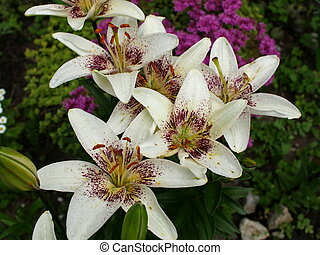 flowers white lily petals and stamens