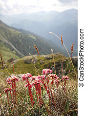 Flowers with mountains in background