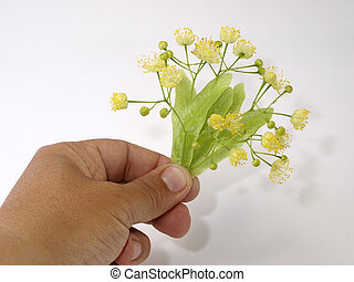 Flowerses of the lime in hand