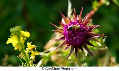 Flowery pink thistle and bee
