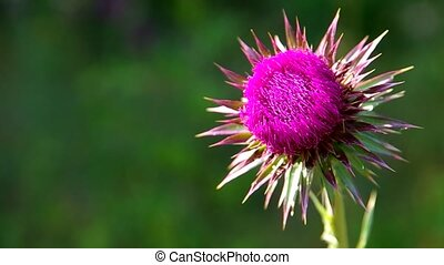 Flowery pink thistle and butterfly