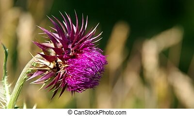 Flowery pink thistle in the wind