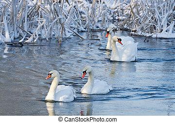 fluß, weißes, schwäne, winter