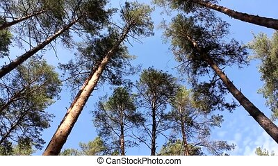 Fluctuation tops of pine trees - Tops of the pine trees make...