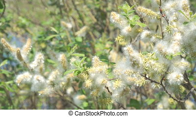 Fluff from the buds of the willow in the wind. Salix...