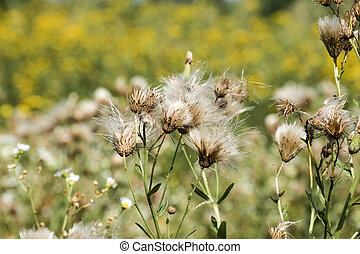 Fluff of field thistle after flowering (Cirsium arvense)