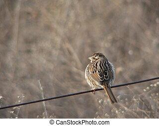 fluffed-up sparrow