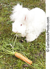 Fluffy angora rabbit eating herbs - Cute fluffy angora bunny...