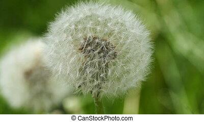 fluffy ball dandelion flying seeds close-up