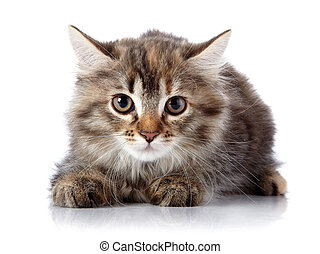 Fluffy beautiful scared cat on a white background.