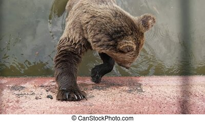Fluffy brown bear standing in a pool and catching thrown bread in a zoo in slo-mo