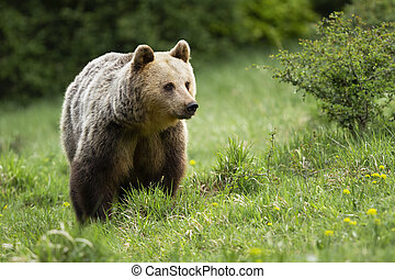 Fluffy brown bear standing on meadow in summer.