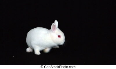 Fluffy bunny rabbit on black background