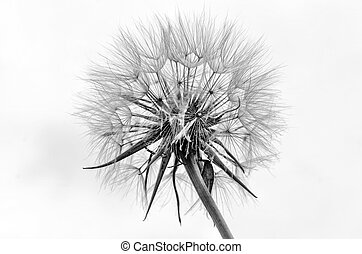 Fluffy bw - Black and white dandelion seed head