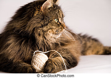 Fluffy cat is holding a rope