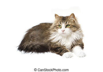 fluffy cat lying on a white background