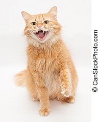 Fluffy cat with green eyes hisses aggressively, raising his paw on white background
