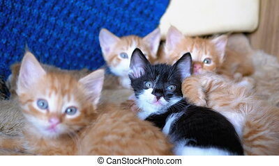 Fluffy Cute Four Kittens Lie on the Couch at Home and at the Same Time Fun to Look Around. Red, black and white little kittens next to each other lie on the sofa. Kittens are two months old from birth.