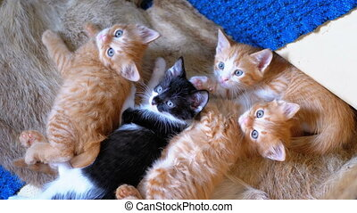 Fluffy Cute Four Kittens Lie on the Couch at Home and Look...