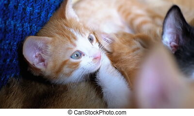 Fluffy Cute Red Kitten Lies and looks around. Little kittens...