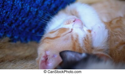 Fluffy Cute Red Kitten Sleep on the Couch at Home. Little...