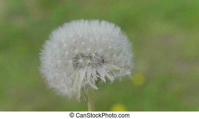 Fluffy dandelion flower against the green backgroundsky.
