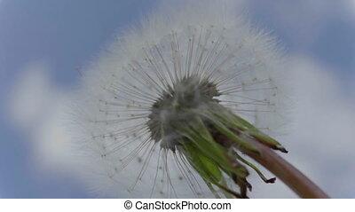 Fluffy dandelion flower against the sky. FHD stock footage
