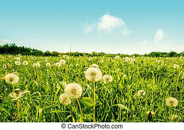 Fluffy dandelion flowers on a green field