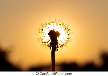 Fluffy dandelion illuminated by the sun .